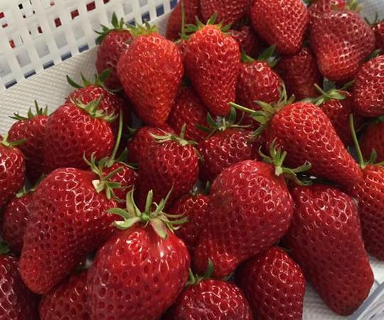 先日、苺農園の方からたくさんの苺をいただきました!!