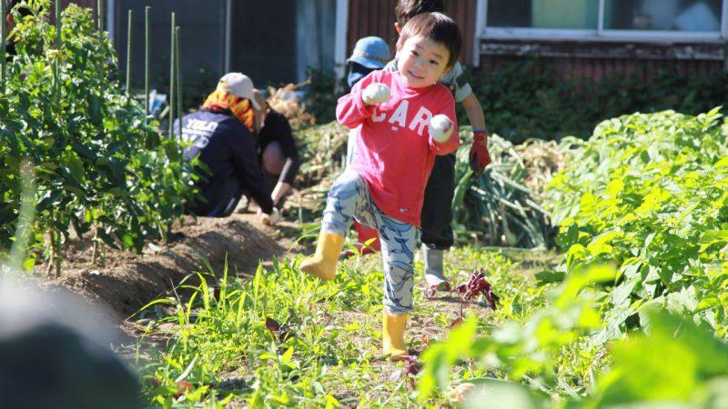 玉ねぎの収穫と新しい苗植え